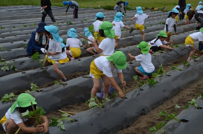 芋苗植え付け